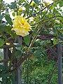 Yellow Rose by the Swimming Pool - panoramio.jpg