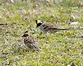 Yellow throated bunting, pair - Flickr - Lip Kee.jpg