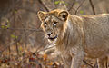 Young Asiatic Lion.jpg