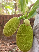Young Jackfruit.JPG