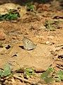 Ypthima baldus - Common Five-ring at Peravoor (1).jpg