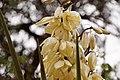 Yucca bloem (13995894867).jpg