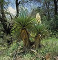 Yucca schottii AZ B.jpg