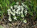 Zaluzianskya villosa white bush.JPG