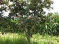 Zanthoxylum piperitum Sichuan.Liujiaxia.tree.jpg