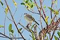 Zapata Sparrow 2495242351.jpg