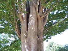 arbre zelkova carpinifolia