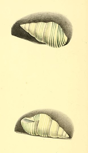 Zoological Illustrations Volume I Plate 58.jpg