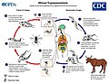 Zoonosis Transmission of African Trypanosomes.jpg