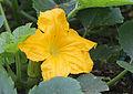 Zucchini-Blüte (14630589166).jpg
