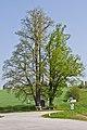 Zwei Linden an der L8280 Altweitra 2014-05 NÖ-Naturdenkmal GD-078.jpg