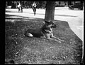 """Alex,"" prize German police dog and pet of Miss Ailsa Mellon, daughter of Treas. smokes cigarettes n'everything. Alex's father is the $12,000 prize police dog ""Wolfe"" LCCN2016893570.jpg"