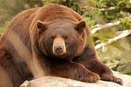 """Cinnamon"" Black Bear.jpg"