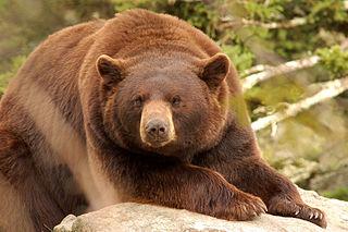 Cinnamon bear Subspecies of carnivore