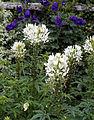 'Cleome hassleriana alba' - Sundial Garden - Hatfield House - Hertfordshire England.jpg