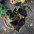 'Giant Exhibition Magma' coleus IMG 0890.jpg