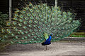 'Pavo' peacock at Blake End, Great Saling, Essex, England 04.jpg