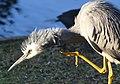 (1)Heron Hunting 134.jpg