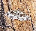 (1739) Wood Carpet (Epirrhoe rivata) (19399407483).jpg