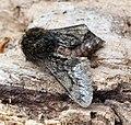 (1925) Small Brindled Beauty (Apocheima hispidaria) (16784191106).jpg