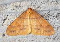 (1933) Scarce Umber (Agriopis aurantiaria) (11132024125).jpg