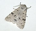 (2280) The Miller (Acronicta leporina) (4749567055).jpg