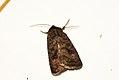 (2387) Mottled Rustic (Caradrina morpheus) (3612995885).jpg
