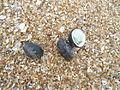 (Neritidae) genera Seashells at Bheemunipatnam beach 02.JPG