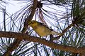 ?? Hermit or Olive Warbler - Rustler Park - Cave Creek - AZ - 2015-08-16at12-33-524 (21450553139).jpg