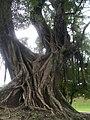 Árvore centenária nos jardins do Museu Nacional.jpg