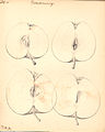 Æble - Vinterdronning (9244514305).jpg