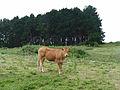 Île-aux-Moines-Vache.jpg
