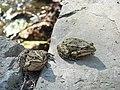 Витоки кальміусу, пам'ятка природи — Source of the Kalmius River Natural Monument, frogs 01.jpg
