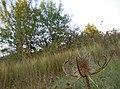 Ворсянка разрезная - Dipsacus laciniatus - Cutleaf teasel - Нарязанолистна лугачка - Schlitzblatt-Karde (21295722576).jpg