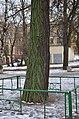 Гінкго Сікорського. Фото 1.jpg