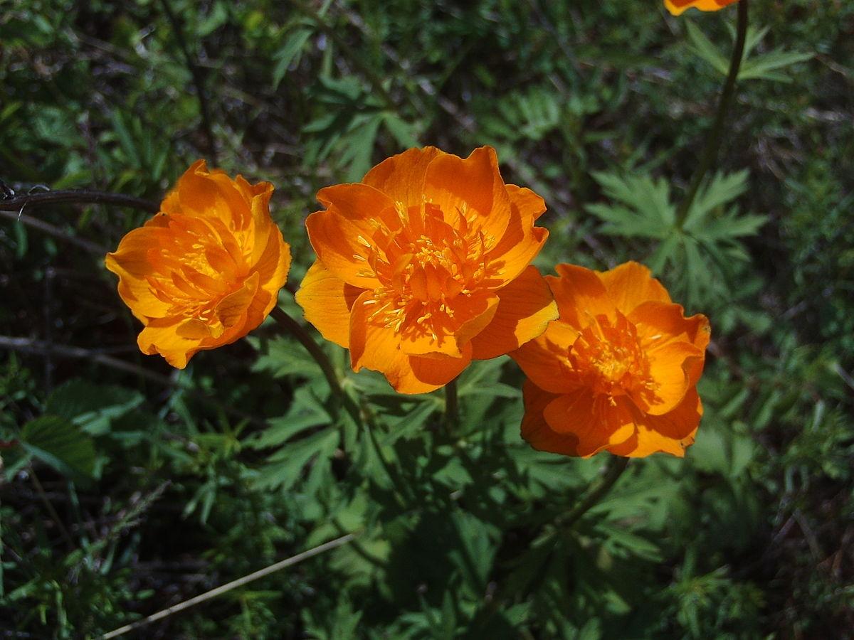 Цветы жарки википедия