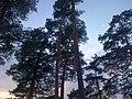Кроны сосен стынут в зимнем небе.jpg