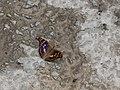 Мінливець малий у парку Феофанія.jpg