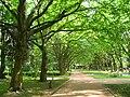 Платанова алея у Стрийському парку.jpg