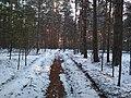 Просека в сосновом лесу.jpg