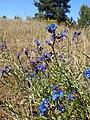 Псамофільний степ цвіте.jpg