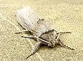 Сверлило камышевое - Phragmataecia castaneae - Reed leopard - Rohrbohrer (33640500363).jpg