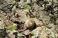 Теліженецький ліс Березова губка DSC 0045.jpg