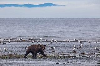 East Siberian brown bear subspecies of brown bear