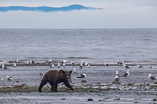 East Siberian brown bear