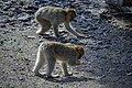 مجموعه عکس از رفتار میمون ها در باغ وحش تفلیس- گرجستان 16.jpg