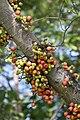 มะเดื่ออุทุมพร Ficus racemosa L (1).jpg