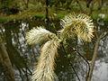 オオネコヤナギ(Bothriospermum tenellum)(Bothriospermum tenellum)-花 (5845193960).jpg