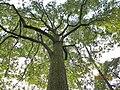 南山植物园-大香樟树景观 - panoramio.jpg