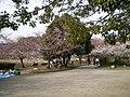 明石公園の桜 - panoramio.jpg